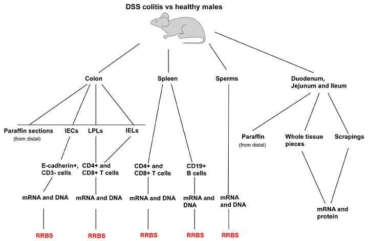 DSS colitis vs healthy males